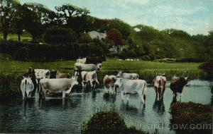 Cows Wading in a Pond